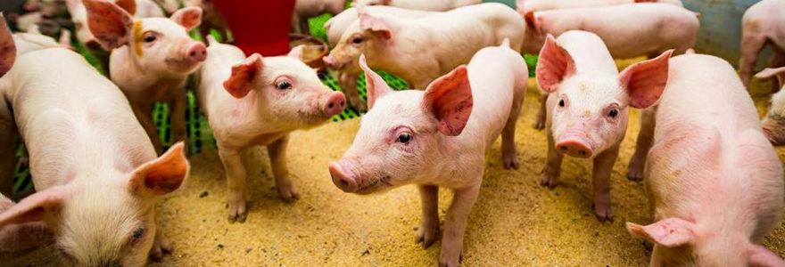 élevage porcin